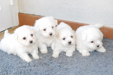 Cachorros de Coton de Tuléar
