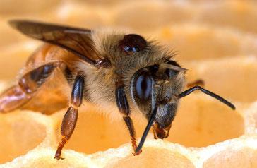 Die Varroamilbe auf dem Rücken einer Biene