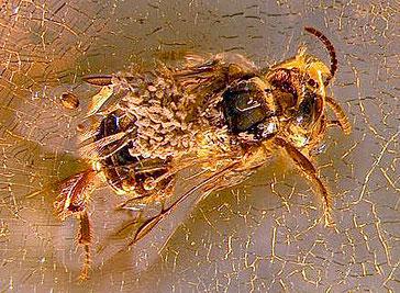 abeille portant pollines d'orchidée noyée dans de l'ambre 20 millions d'années