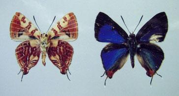 Spindasis masaeae 標本写真