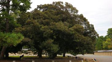 大宮御所の西脇の巨木スジダイ