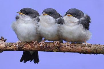 Junge Mehlschwalben verwaiste Jungvögel Tierkinder NABU Düren