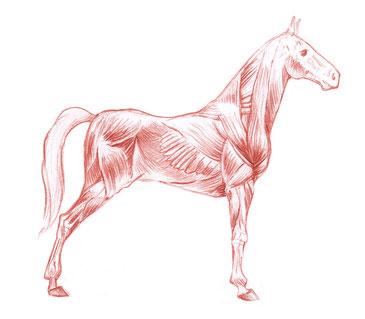 Faszien umhüllen Knochen und Muskeln des Pferdes