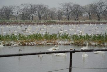 雪が降る瓢湖