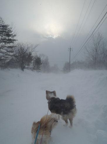 地吹雪の中の散歩は犬にとってもツラいよ・・・