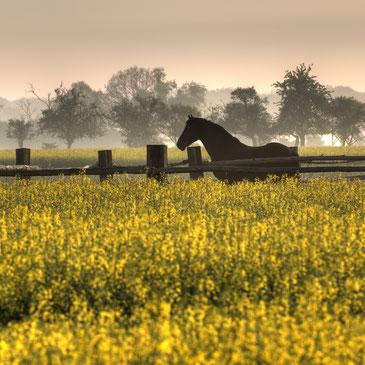 Landschaft mit Raps und Pferd