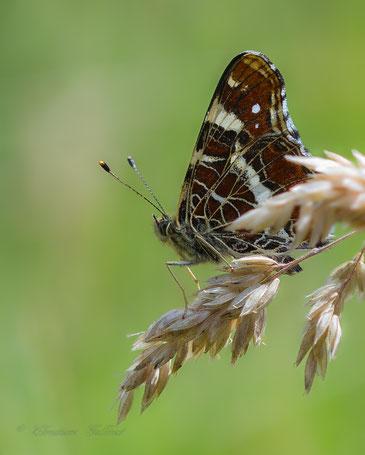 Das Landkärtchen (Araschnia levana)