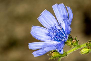 8 Chicory
