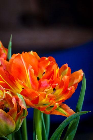 papageientulpe-gelb-orange-hochkant-makro