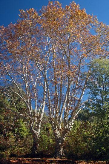 les platanes deux fois centenaires (photo archives prise en automne)