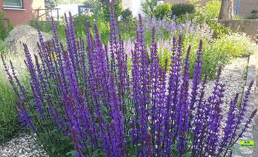 Violette Blüten des Steppensalbei / Hainsalbei / Ziersalbei / Salvia nemorosa inklusive Biene von K.D. Michaelis