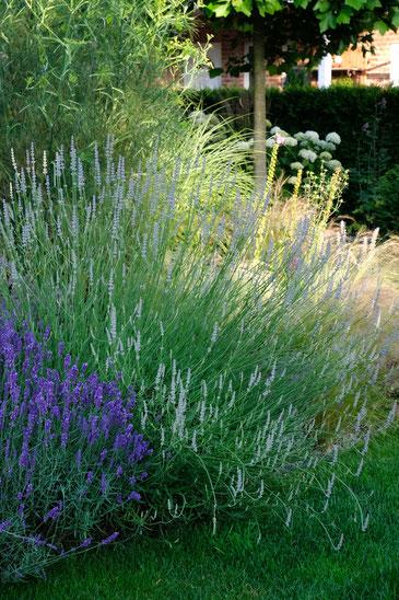 dieartigeGARTEN // lavender 'Hidcote Blue' + 'Speiklavendel'