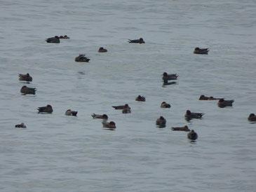 最近よくいる渡り鳥、集団でプカプカしてます。