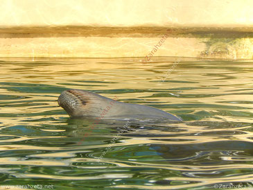 Entspannte Robbe im Wasserbassin