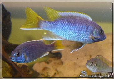 Couple Msuli ; mâle en haut, femelle en bas à gauche