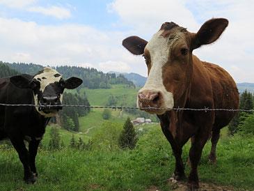 Journalismus und Landwirtschaft haben etwas gemeinsam: Der Schweizer Markt ist zu klein. (Kühe auf der Weide im Napf-Gebiet)