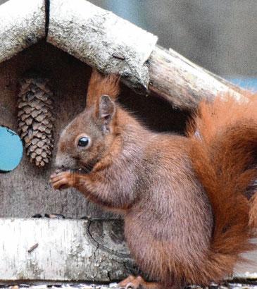 Eichhörnchen legen sich Vorräte für den Winter an – finden sie aber oft nicht wieder.