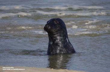 les phoques de la baie de Somme à vos pieds