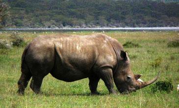 Rinoceronte negro / © María Arnal