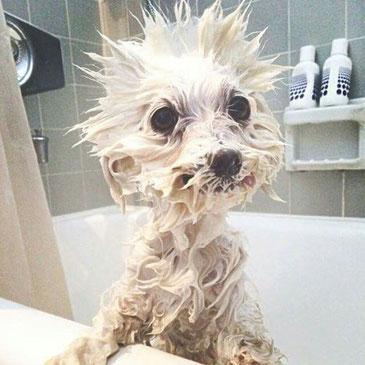 Hund baden, wie oft, Hund duschen, Hund Badewanne, Hundeshampoo