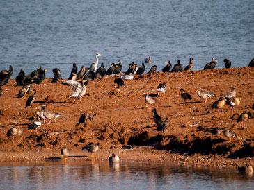Wasservögel auf der abgeschobenen Insel. - Foto: Kathy Büscher