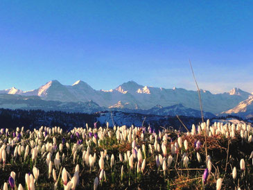 Bergfrühling mit Krokussen, Foto Jürg Wehrlin