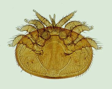 Die Varroamilbe (Varroa destructor) ist ca. 1,1 mm lang und 1,6 mm breit