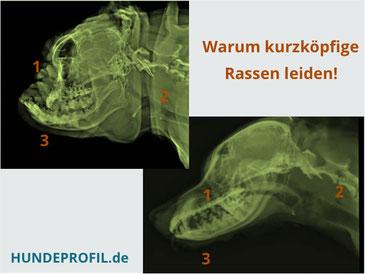 brachyzephaler Kopf im vergleich zu einer normalen Hundeschnauze