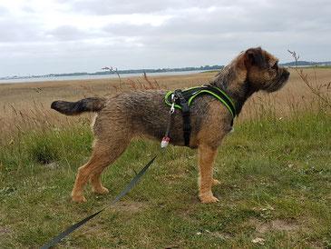 Border Terrier Mira