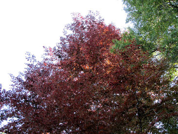 European Beech Tree