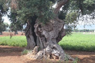 Stamm und halbe Krone eines sehr alten und dicken Olivenbaumes auf roter Erde, im Hintergrund ein grünes Feld