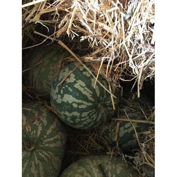 Une pastèque d'hiver cachée dans de la paille