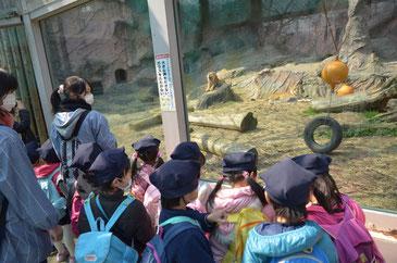 ライオンがあくびをしています。