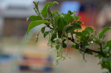 ビックリグミの花