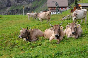 Kühe liegen auf der Alp