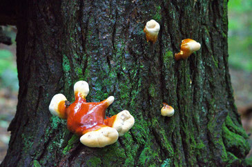Hemlock Varnish Shelf mushrooms starting to grow on an Eastern Hemlock stump.