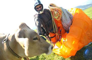 Gleitschirmpilot mit friedlichen Kühen am Hang