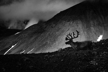 スヴァールバル諸島のトナカイ Frode Bjorshol / CC BY 2.0
