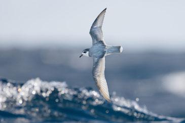 海に漂うプラスチックゴミが放つ「匂い」。そのせいで海鳥はゴミをエサだと勘違いする。写真はアオミズナギドリ。Phto:UC DAVIS