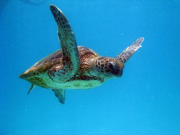 グレート・バリア・リーフを泳ぐアオウミガメ Jurriaan Persyn / CC BY-NC 2.0