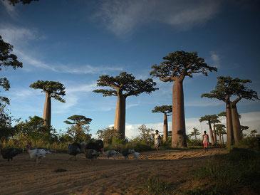 """マダガスカルと言えば""""バオバブ""""の木が有名 Frank Vassen CC BY 2.0"""