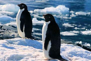 アデリーペンギンは地球温暖化を生き残ることができるのか。 CC BY-NC 2.0 KK Condon