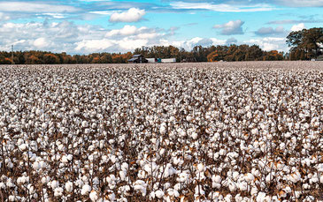 農薬使用による健康被害も多いとされるコットン栽培に大きな変化が。 2Wheelin' / CC BY-NC-ND 2.0