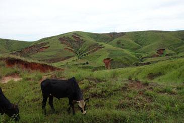 森を食べつくす牛。どのように貧困のスパイラルを止めるのか。
