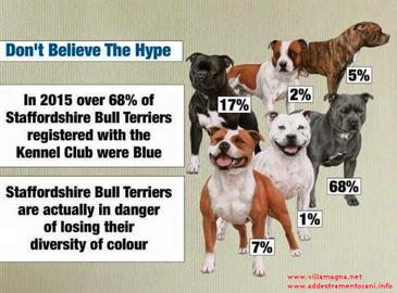 staffordshire bull terrier blue , grigio , blu