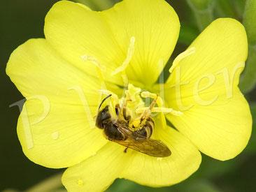 Bild: Gelbbindige Furchenbiene, Halictus scabiosae, an einer Nachtkerzenblüte