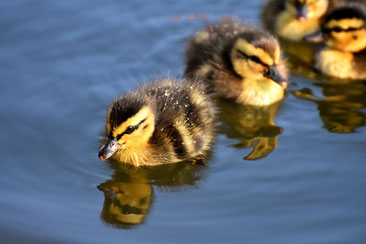 Havel, Enten, Küken, Urlaub am Wasser