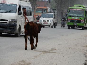 Kühe gehören in Nepal zu den Verkehrsteilnehmern
