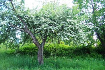 blühender Weißdornbaum
