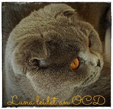Scottish Fold Katze Mina von der XXgner-XXchant, Rufname: Luna - mit 1,5 Jahren schwer an OCD erkrankt, Foto: ©Janina, 05/2020